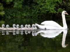 лебедь, cygnus, птицы