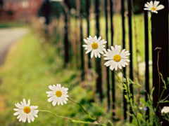 papatya, flowers, duvar
