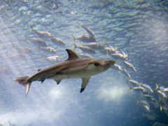 tiburón, blanco, акулы