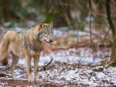 волк, oir, mobivolk