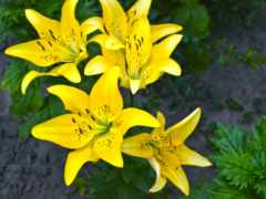 cvety, многолетние, сибири