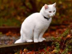 ангорский, gato, turco