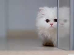 котенок, пушистый, white