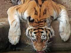 тигр, watering, мои