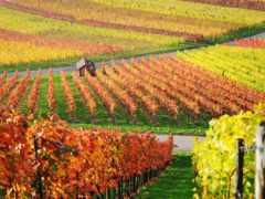 виноградники, фотографиях, красные