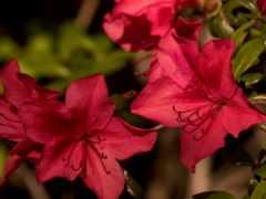 gerbera, pink,