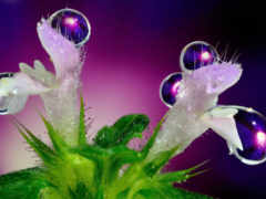 cvety, капли, макро