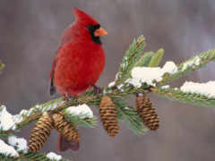 кардинал, птица, птицы
