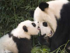 панда, панды, яndex