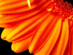 цветы, оранжевый, pure