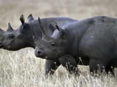 носорог, black, kamerunskii
