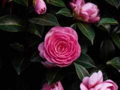 цветы, bloom, роза