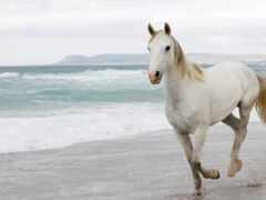 лошадь, white, animal