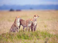 гепард, animal, детёныш