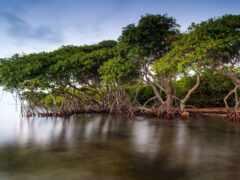 mangrove, лес, дерево