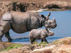 rhino, носорог, идея