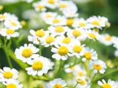 flowers, white, ромашка
