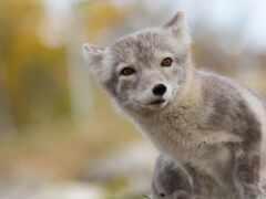фокс, серый, arctic fox