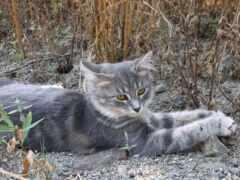 кот, коты, серый