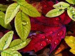 leaf, drop, осень