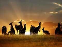 австралия, kangaroo, landscape