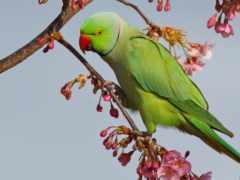 попугай, iphone, Сакура