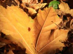 листва, осень, листики