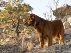 pine, собака, zhivotnye