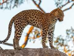 леопард, pelacur, panthera