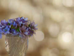 цветы, фиолетовый, первоцвет