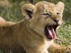 львенок, животные