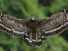 hawk, птица, wings