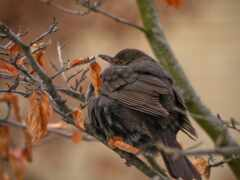 птица, branch, stoloboi