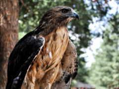 falcon, птица, profile
