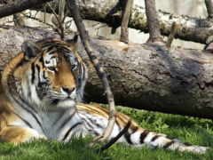 тигр, диких, животных