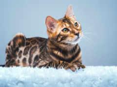 кот, бенгальский, home