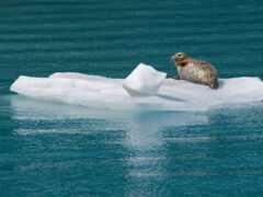 лед, тюлень, льдина