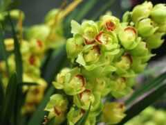 орхидея, лист, russian