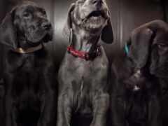 mastiff, порода, щенок