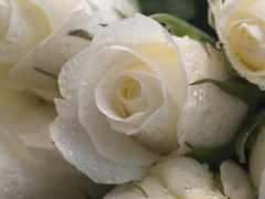 розы, белые, капли