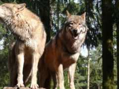 волки, волк, kolohostru