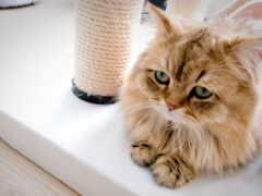 грустный, тюлень, кот
