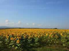 подсолнухи, поле, цветы Фон № 145253 разрешение 1920x1080