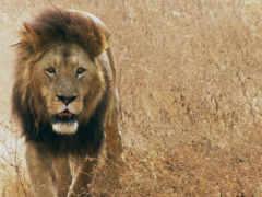 lion, грива, кот