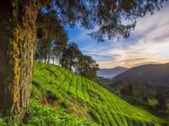 malaysia, pahang, highland