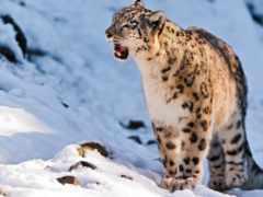 леопард, снег, казахстане