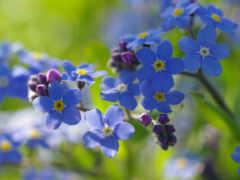 незабудка, цветы, semolina
