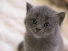 серый, котенок, глаз