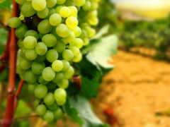 виноград, крыму, виноградники