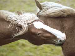 кони, лошади, лошадь